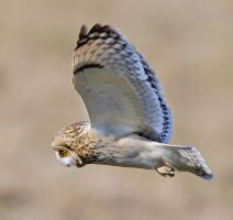Stay Focussed - Short-eared Owl by Jamie-MacArthur