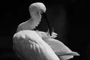 Spoonbill 2 by CharmingPhotography