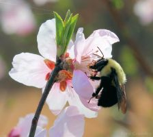 Bumblebee and Cherry blossoms. by PhotographerAlexC