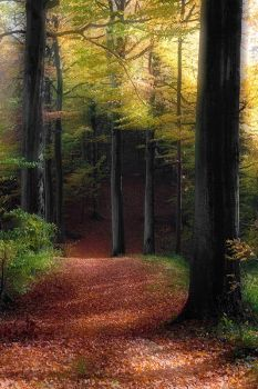 Beeches  in autumn by rhipster