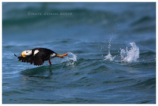 Horned Puffin Takeoff by Nate-Zeman