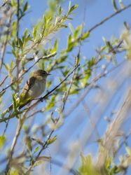 Willow warbler by 75ronin