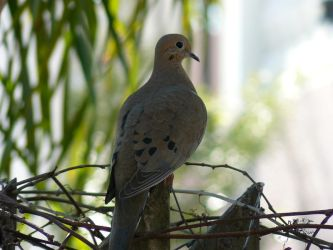 Mourning Dove by Aliyah-Chan