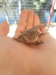 Camping - Western Fence Lizard - 2 by Clivvellusion