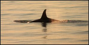 Orca At Sunset by nitsch
