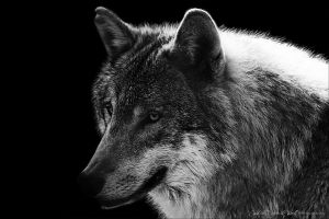 Grey Wolf -silence of hope- by WhiteSpiritWolf