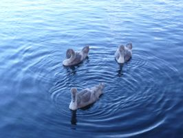 3 little signets by 003145
