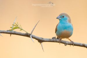 Blue Waxbill by chriskaula