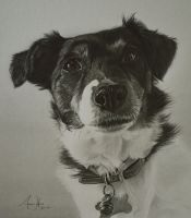Commission Jack Russell Terrier 'Daisy' by Captured-In-Pencil