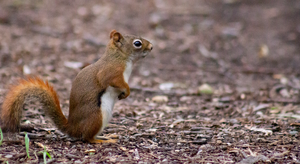 Brown Squirrel 2 by AaronMk