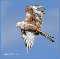 Leucistic Red Kite by Jamie-MacArthur