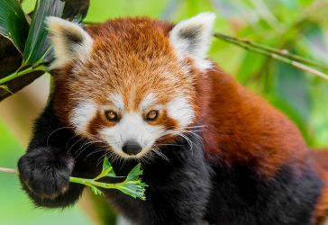 Red Panda 4 by tpphotography