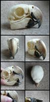 Macaw Skull by CabinetCuriosities