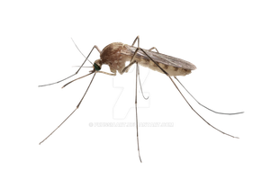 Insect mosquito on a transparent background. by PRUSSIAART