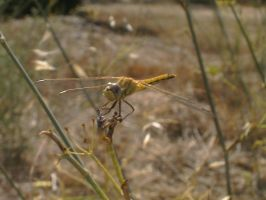 Dragonfly II by Madame-Mabsoot
