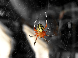 Orange Spider by kashmier