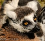 6905 - Ring Tailed Lemur by RobDavids-DigitalArt