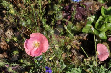 Icelandic Poppy by snoogaloo