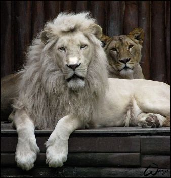 White lion king, silent queen by woxys