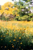 Fields of Gold by Alexandru19 by Ro-nature