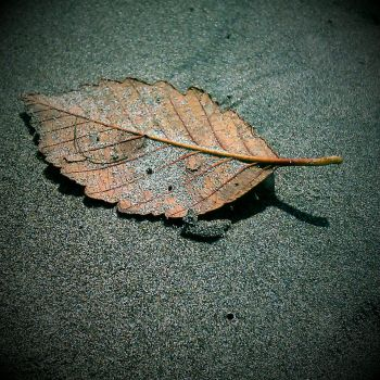 sandy leaf by MurderShannon