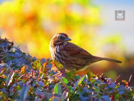 Sparrow On A Hedge by wolfwings1
