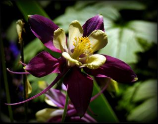 Pretty Columbine - light and shadow by JocelyneR