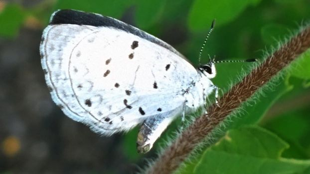 White Butterfly by almostafaegodmother