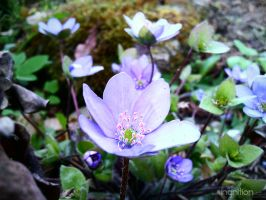 Spring Flower 2012 - 06 by Ingnition