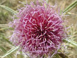 Thistle - Cardo by Ivette-Stock