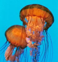 Jelly Fish by Ria21