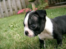 Baby Boston Terrier by FatalDelay
