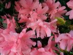 Pink Azalea by DreamsWishesReality