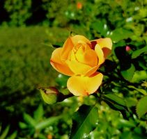 Small Rose of Nutmeg Road by GUDRUN355