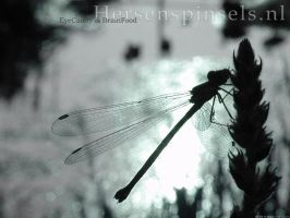 Dragonfly Wallpaper by Dragonflies-Club