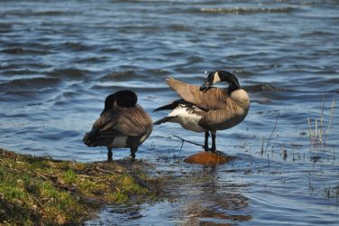 Canada goose by tomegatherion