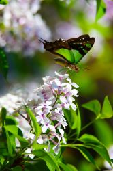 Butterfly Happiness by cobaltsennheiser