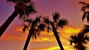 Palmetto Morning Silhouettes by Matthew-Beziat