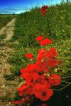 Field Poppies 2 by Coigach