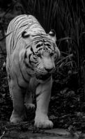 BW, Bengal Tiger by shaunthorpe