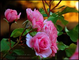 pink roses by turkill