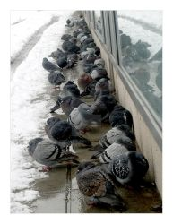 Doves do not like snow a lot by Finvara