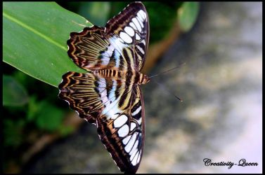 .A Butterfly. by Creativity-Queen
