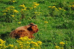 Scottish cow by ABDCrochet