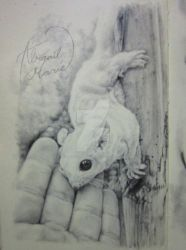 sugar-glider-graphite-study-art-drawing by Artist-AbigailMarie