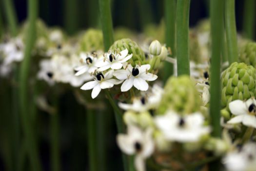 White Allium by Gothic-Dreamscapes