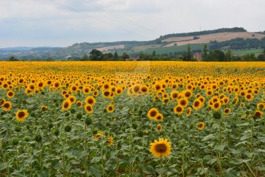 Sunflowers in France by DRM1992