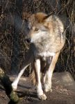 Mexican Wolf Stock 24 by HOTNStock