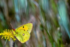 Butterfly Colias Croceus by VitoDesArts