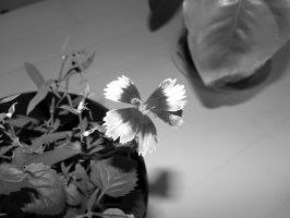 Chinese Carnation 2 by Agus-Xiaolin